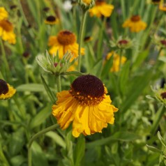 Helenium bigelovii The Bishop / Solbrud