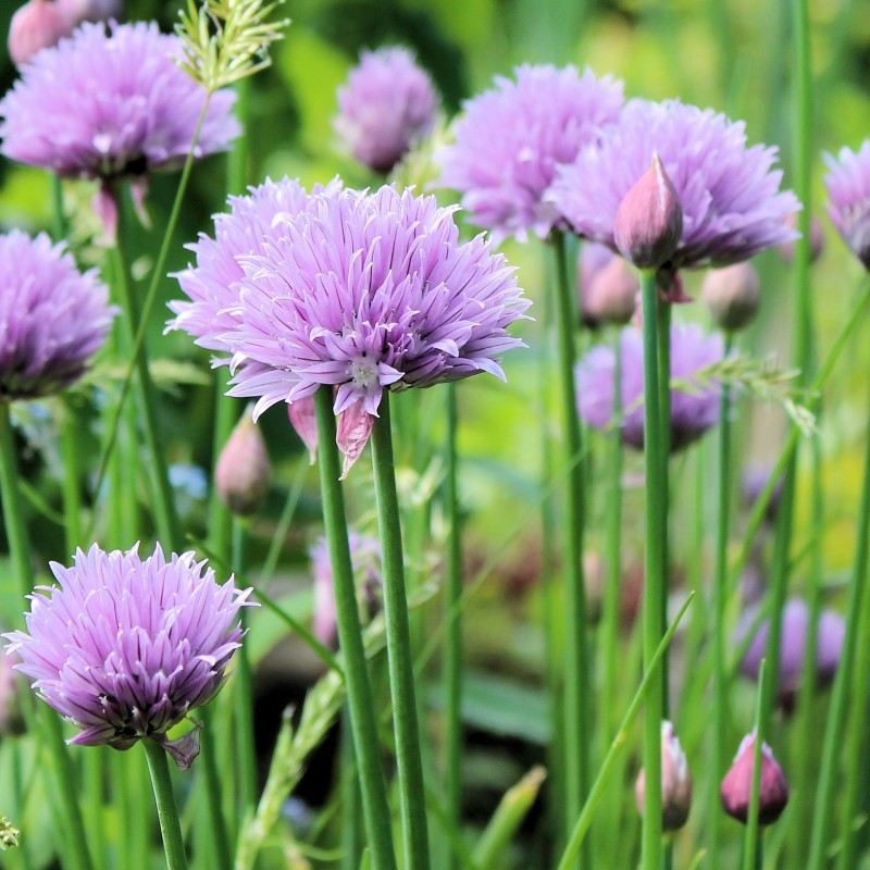 Purløg / Allium schoenoprasum