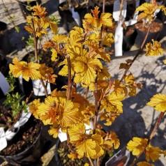 Physocarpus opulifolius Amber Jubilee (Jefam) - Blærespiræa