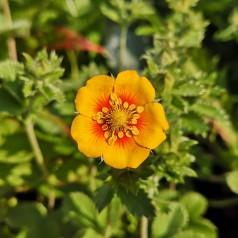 Potentilla argyrophylla / Staude Potentil