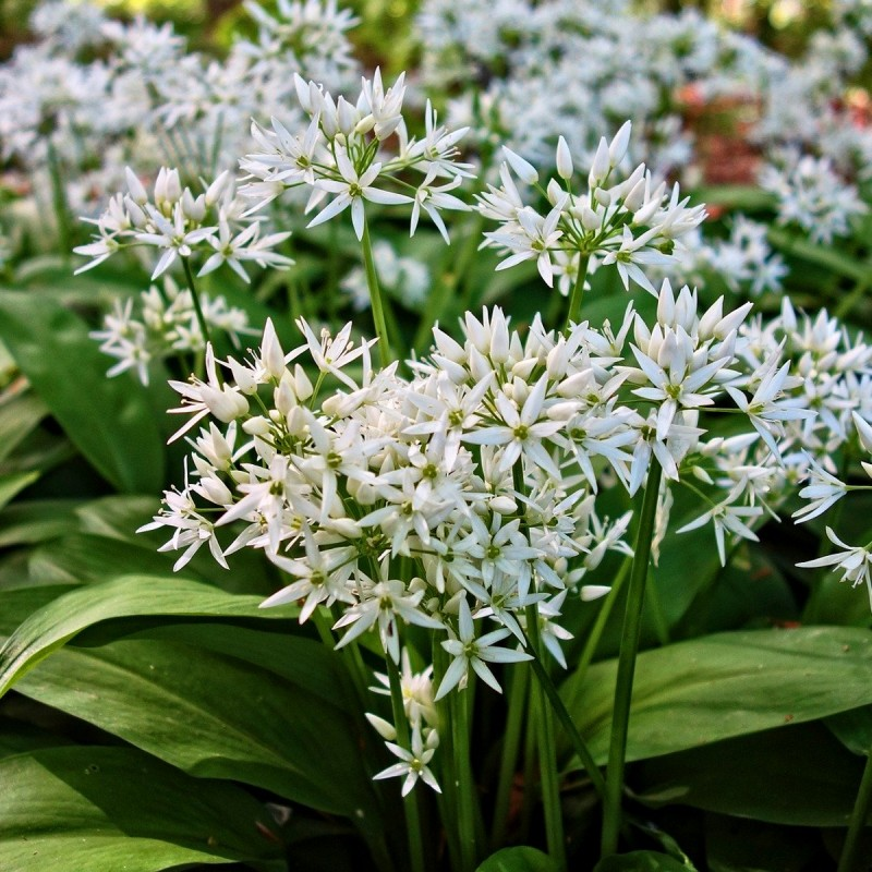 Ramsløg / Allium ursinum