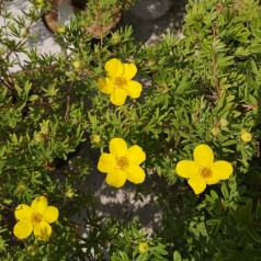 Potentilla fruticosa Goldfinger - Buskpotentil