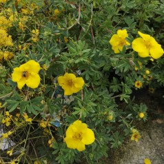 Potentilla fruticosa Goldstar - Buskpotentil