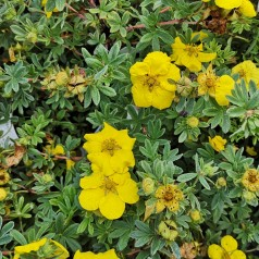 Potentilla fruticosa Goldteppich - Buskpotentil