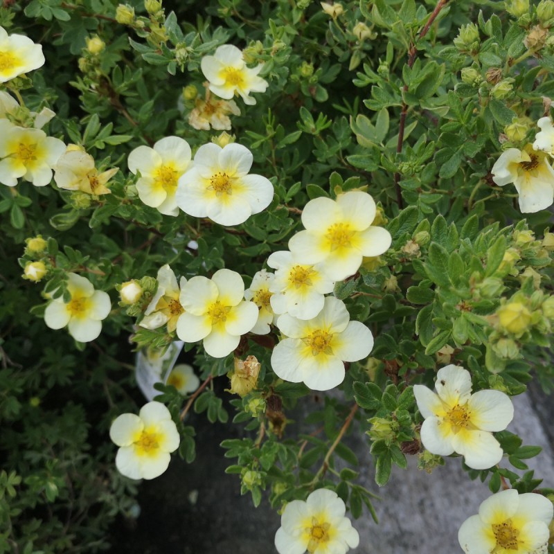 Potentilla fruticosa Limelight - Buskpotentil
