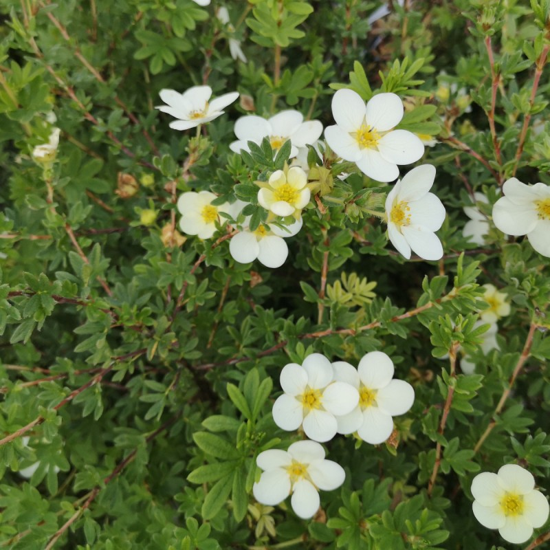 Potentilla fruticosa McKay's White / Buskpotentil