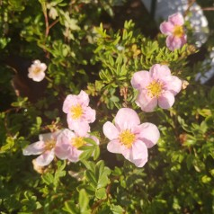 Potentilla fruticosa Pink Queen (Blink Princess) - Buskpotentil