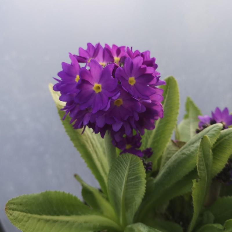 Primula denticulata / Kugleprimula