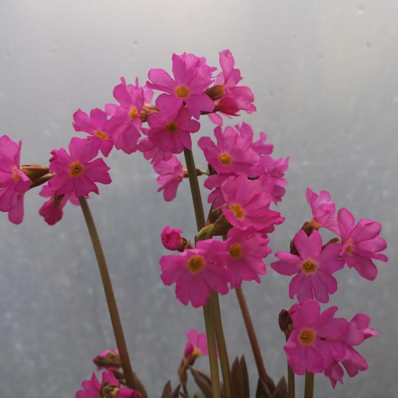 Primula rosea Gigas / Rosenprimula