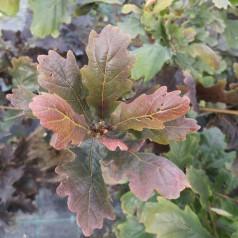 Quercus robur Purpurascens - Rødbladet Stilk-Eg
