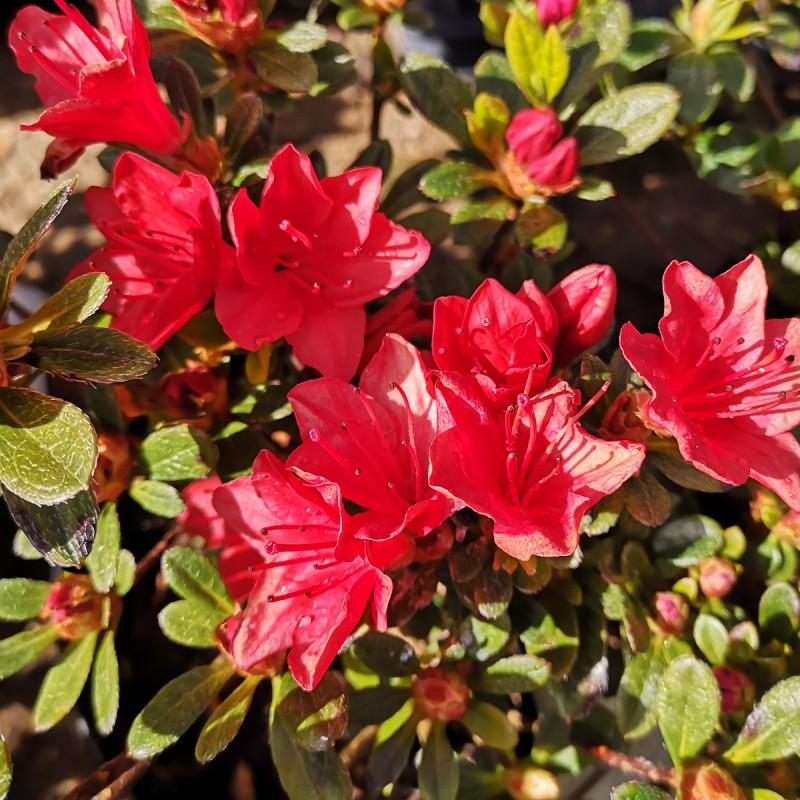 Rhododendron Fridoline - Japansk Azalea