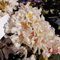 Rhododendron hybrid Cunninghams White