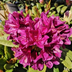 Rhododendron hybrid Polarnacht