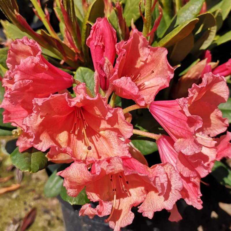 Rhododendron hybrid Sun Glory