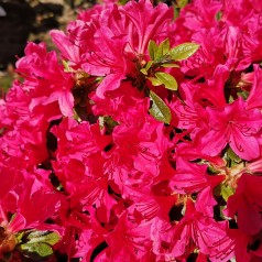 Rhododendron Kermesina - Japansk Azalea