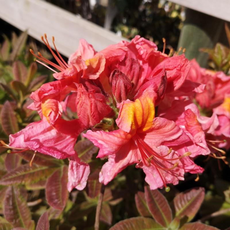 Rhododendron knaphill Berryrose - Haveazalea