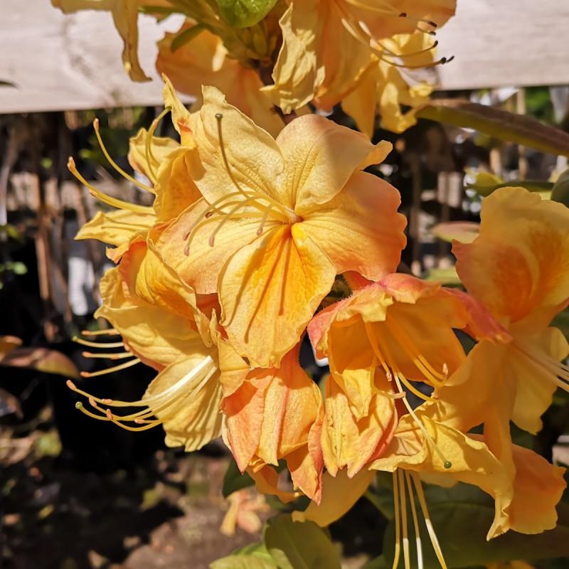 Rhododendron knaphill Golden Sunset - Haveazalea