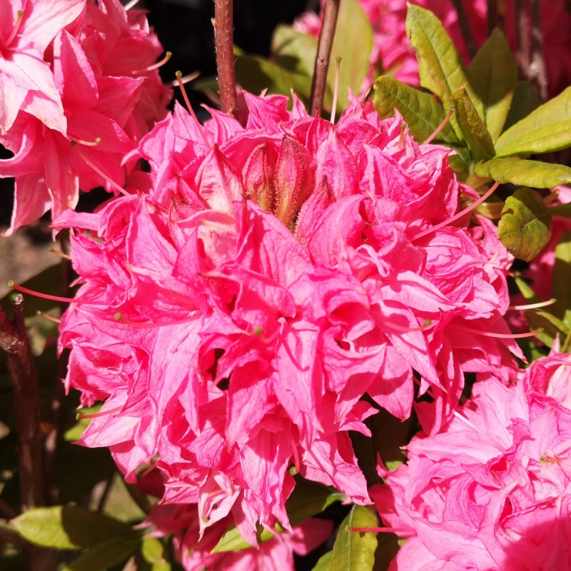 Rhododendron knaphill Homebush - Haveazalea