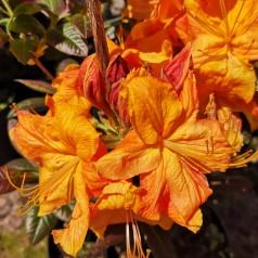 Rhododendron knaphill Klondyke - Haveazalea