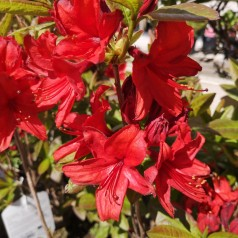 Rhododendron knaphill Nabucco - Haveazalea