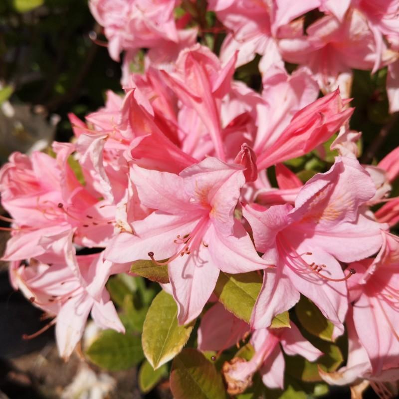 Rhododendron knaphill Soir de Paris - Haveazalia