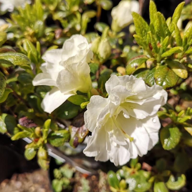 Rhododendron Schneeperle / Azalea Japansk
