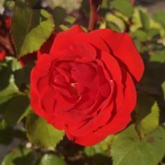Rose Allotria / Buketrose - Barrods