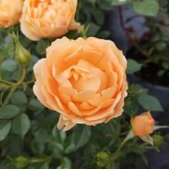 Rose Amber Cover / Bunddække rose Towne- og Country - Barrods