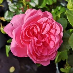 Rose Berleburg - Slotsrose