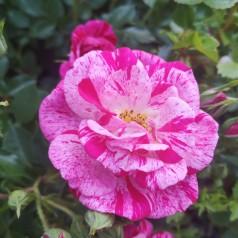 Rose Candy Cover / Bunddække rose Towne- og Country - Barrods