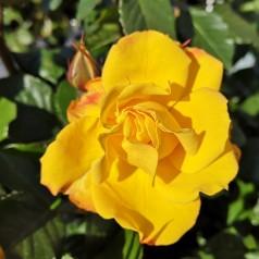 Rose Goldmarie / Buketrose - Barrods