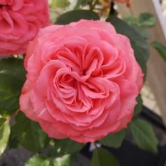 Rose I am Grateful - Buketrose