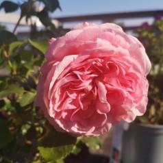 Rose Inner Wheel Forever - Buketrose