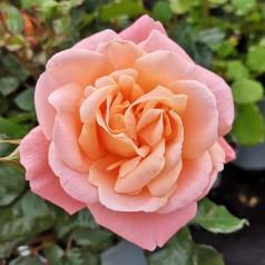 Rose Kalmar / Slotsrose - Barrods