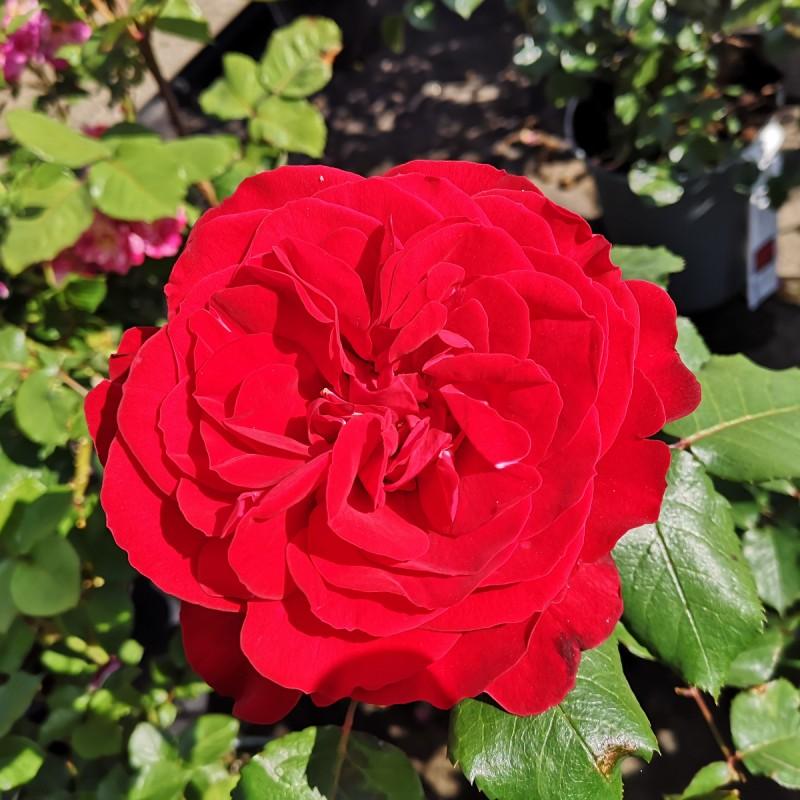 Rose Look Good Feel Better - Slotsrose - Barrods
