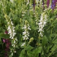 Salvia nemorosa Schneehügel / Staude salvie