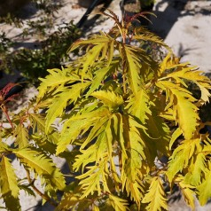 Sambucus racemosa Plumosa Aurea - Gul Druehyld