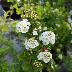 Spiræa Snowmound 30-50 cm. - Bundt med 10 stk. barrodsplanter - Spiraea nipponica Snowmound _