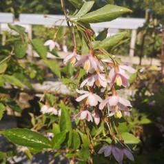 Styrax japonica Pink Chimes - Japansk Sneklokke