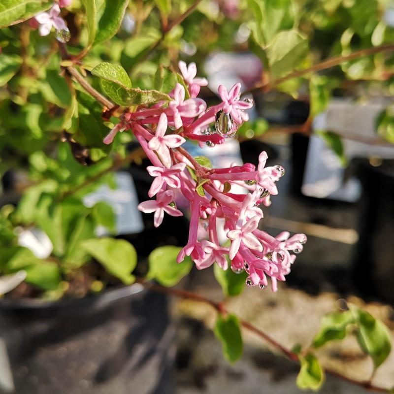 Syringa Bloomerang Pink Perfume - Dværgsyren
