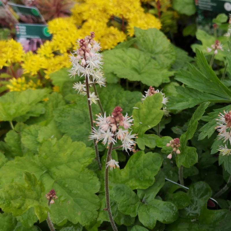 Tiarella cordifolia Spring Symphony - Skumblomst