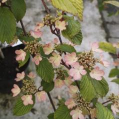 Viburnum plicatum Pink Beauty - Japansk Snebolle