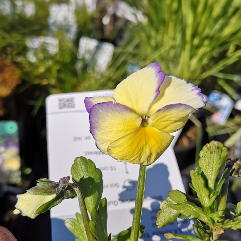 Viola cornuta Etain / Hornviol