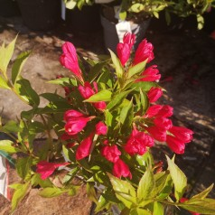 Weigela florida All Summer Red - Klokkebusk