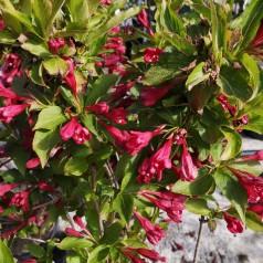 Klokkebusk Red Prince 40-60 cm. - Bundt med 10 stk. barrodsplanter - Weigela florida Red Prince _