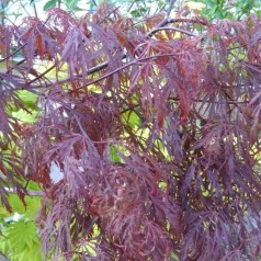 Acer Palmatum Dissectum Crimson Queen - Japansk Løn - Japansk Ahorn