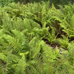Polystichum setiferum - Kirkegårdsbregne