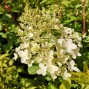 Hydrangea paniculata Pinkachu - Træagtig Hortensia