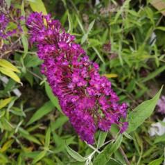 Buddleja davidii Nanho Purple / Sommerfuglebusk