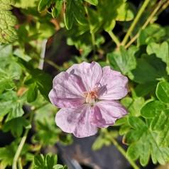 Geranium sanguineum Apfelblüte - Storkenæb